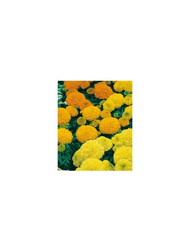 Tagetes African