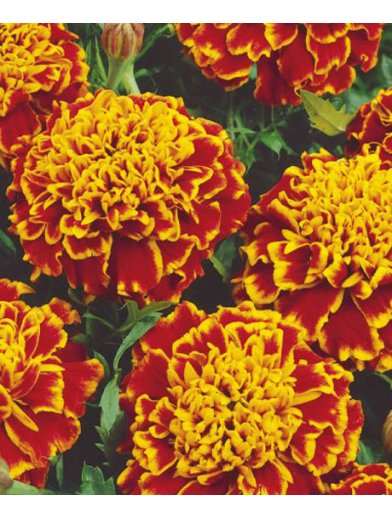 Tagetes French