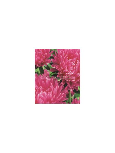 Asters,