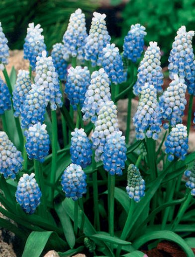 Peppermint. Muscari. Udsolgt